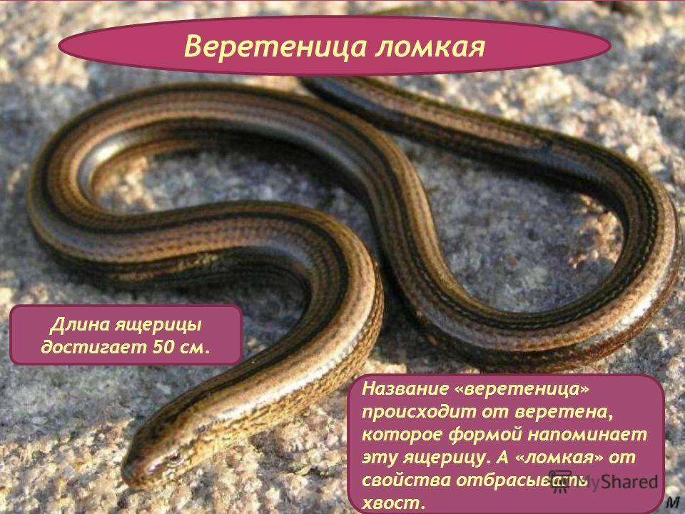 Веретеница ломкая Длина ящерицы достигает 50 см. Название «веретеница» происходит от веретена, которое формой напоминает эту ящерицу. А «ломкая» от свойства отбрасывать хвост.