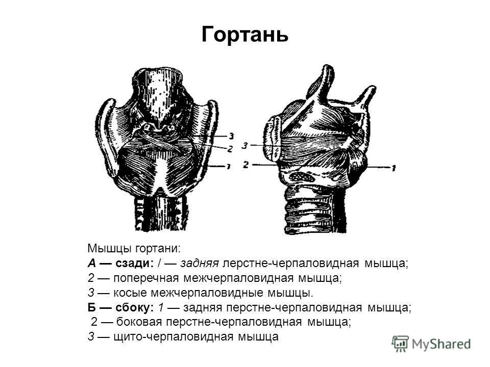 Гортань Мышцы гортани: А сзади: / задняя лерстне-черпаловидная мышца; 2 поперечная межчерпаловидная мышца; 3 косые межчерпаловидные мышцы. Б сбоку: 1 задняя перстне-черпаловидная мышца; 2 боковая перстне-черпаловидная мышца; 3 щито-черпаловидная мышц