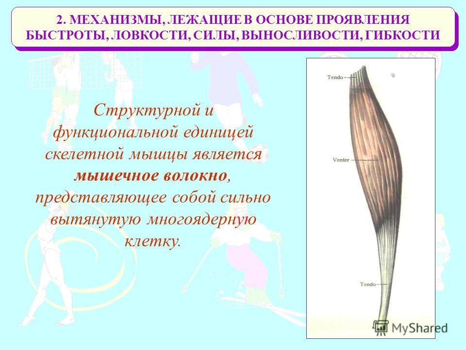 2. МЕХАНИЗМЫ, ЛЕЖАЩИЕ В ОСНОВЕ ПРОЯВЛЕНИЯ БЫСТРОТЫ, ЛОВКОСТИ, СИЛЫ, ВЫНОСЛИВОСТИ, ГИБКОСТИ Структурной и функциональной единицей скелетной мышцы является мышечное волокно, представляющее собой сильно вытянутую многоядерную клетку.