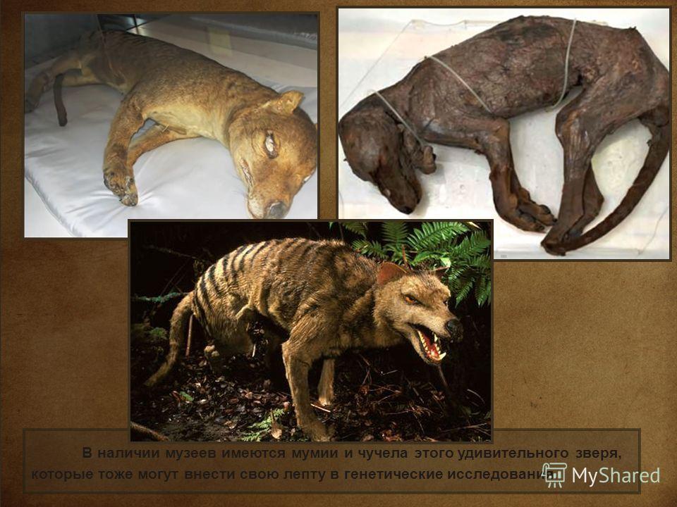 В наличии музеев имеются мумии и чучела этого удивительного зверя, которые тоже могут внести свою лепту в генетические исследования.
