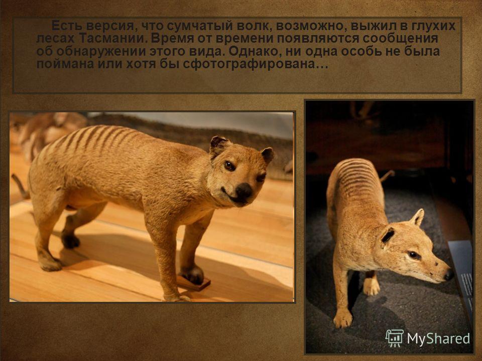 Есть версия, что сумчатый волк, возможно, выжил в глухих лесах Тасмании. Время от времени появляются сообщения об обнаружении этого вида. Однако, ни одна особь не была поймана или хотя бы сфотографирована…