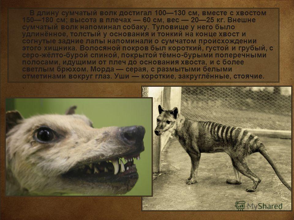 В длину сумчатый волк достигал 100130 см, вместе с хвостом 150180 см; высота в плечах 60 см, вес 2025 кг. Внешне сумчатый волк напоминал собаку. Туловище у него было удлинённое, толстый у основания и тонкий на конце хвост и согнутые задние лапы напом