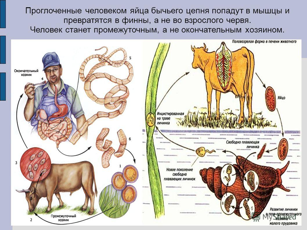 Проглоченные человеком яйца бычьего цепня попадут в мышцы и превратятся в финны, а не во взрослого червя. Человек станет промежуточным, а не окончательным хозяином.