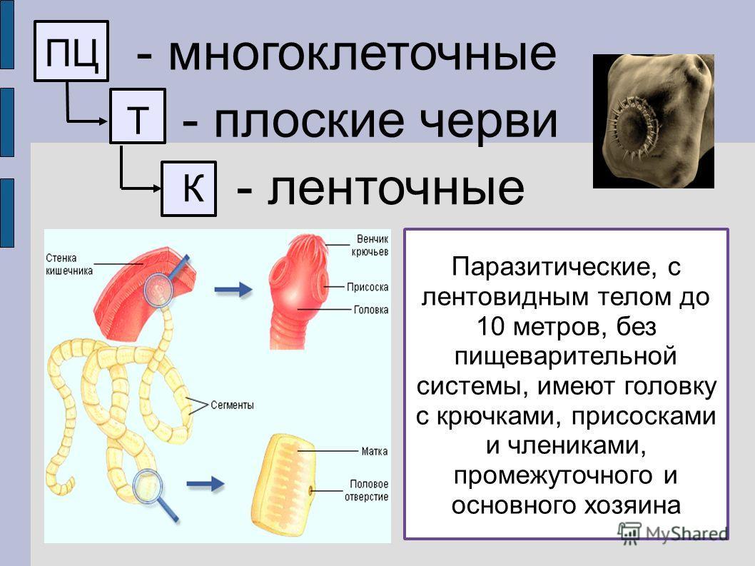 ПЦ - многоклеточные Т - плоские черви К - ленточные Паразитические, с лентовидным телом до 10 метров, без пищеварительной системы, имеют головку с крючками, присосками и члениками, промежуточного и основного хозяина