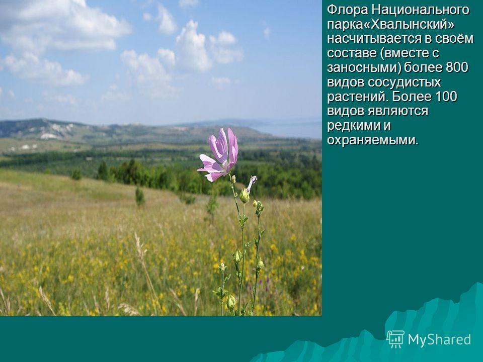 Флора Национального парка«Хвалынский» насчитывается в своём составе (вместе с заносными) более 800 видов сосудистых растений. Более 100 видов являются редкими и охраняемыми.