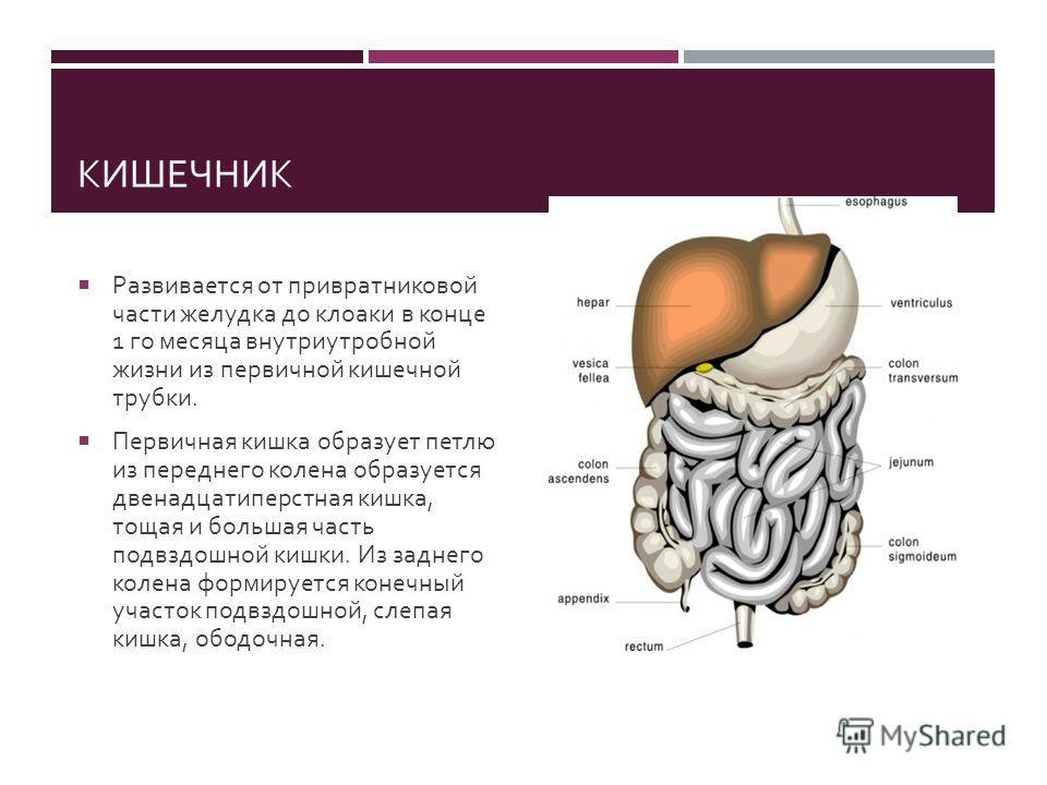 КИШЕЧНИК Развивается от привратниковой части желудка до клоаки в конце 1 го месяца внутриутробной жизни из первичной кишечной трубки. Первичная кишка образует петлю из переднего колена образуется двенадцатиперстная кишка, тощая и большая часть подвзд