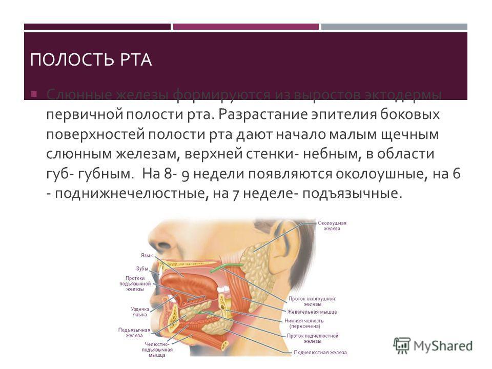 ПОЛОСТЬ РТА Слюнные железы формируются из выростов эктодермы первичной полости рта. Разрастание эпителия боковых поверхностей полости рта дают начало малым щечным слюнным железам, верхней стенки - небным, в области губ - губным. На 8- 9 недели появля