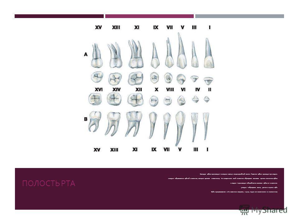 ПОЛОСТЬ РТА Закладка зубов происходит на втором месяце внутриутробной жизни. Развитие зубов проходит три стадии. 1 стадия - образование зубной пластинки, которая врастает в мезинхиму. На поверхности этой пластинки образуется эмалевые органы молочных