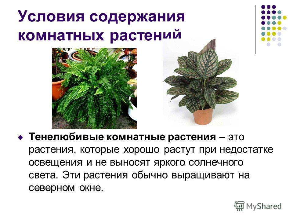 Условия содержания комнатных растений Тенелюбивые комнатные растения – это растения, которые хорошо растут при недостатке освещения и не выносят яркого солнечного света. Эти растения обычно выращивают на северном окне.
