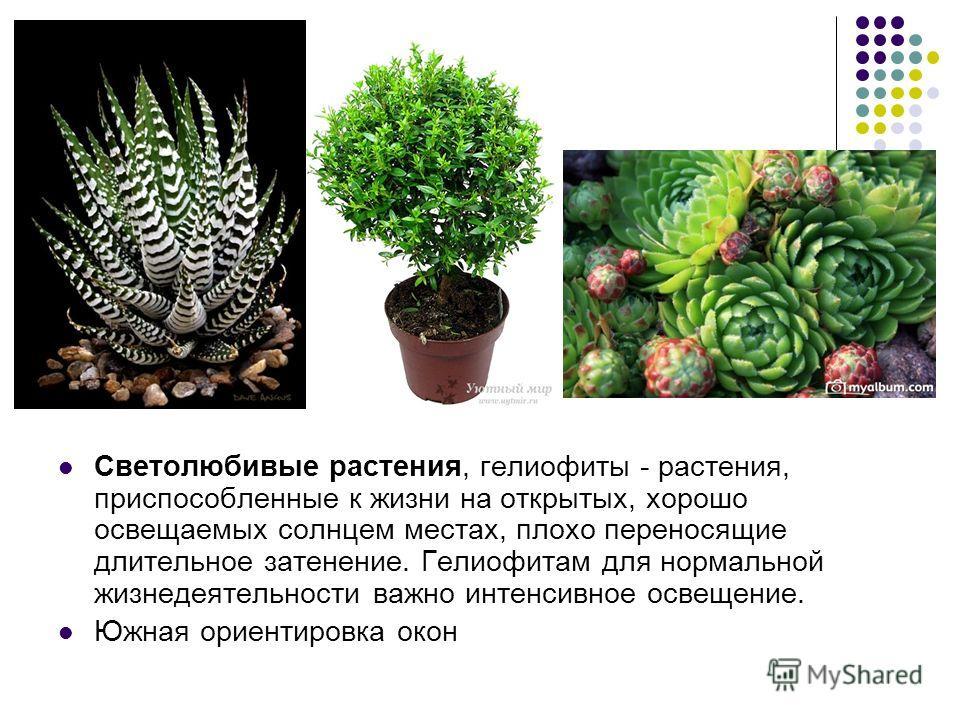 Светолюбивые растения, гелиофиты - растения, приспособленные к жизни на открытых, хорошо освещаемых солнцем местах, плохо переносящие длительное затенение. Гелиофитам для нормальной жизнедеятельности важно интенсивное освещение. Южная ориентировка ок