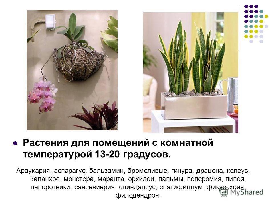 Растения для помещений с комнатной температурой 13-20 градусов. Араукария, аспарагус, бальзамин, бромеливые, гинура, драцена, колеус, каланхое, монстера, маранта, орхидеи, пальмы, пеперомия, пилея, папоротники, сансевиерия, сциндапсус, спатифиллум, ф