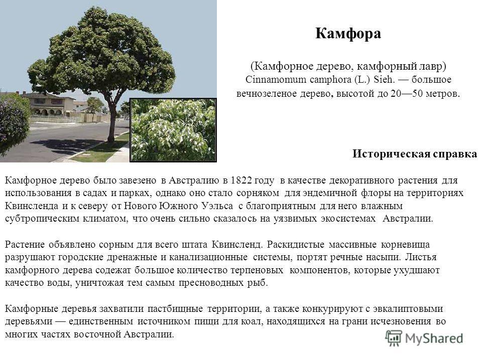 Камфора (Камфорное дерево, камфорный лавр) Cinnamomum camphora (L.) Sieh. большое вечнозеленое дерево, высотой до 2050 метров. Историческая справка Камфорное дерево было завезено в Австралию в 1822 году в качестве декоративного растения для использов