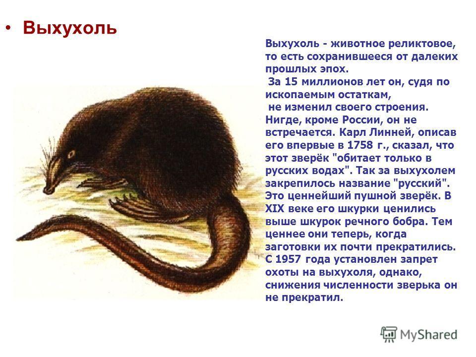 Выхухоль Выхухоль - животное реликтовое, то есть сохранившееся от далеких прошлых эпох. За 15 миллионов лет он, судя по ископаемым остаткам, не изменил своего строения. Нигде, кроме России, он не встречается. Карл Линней, описав его впервые в 1758 г.