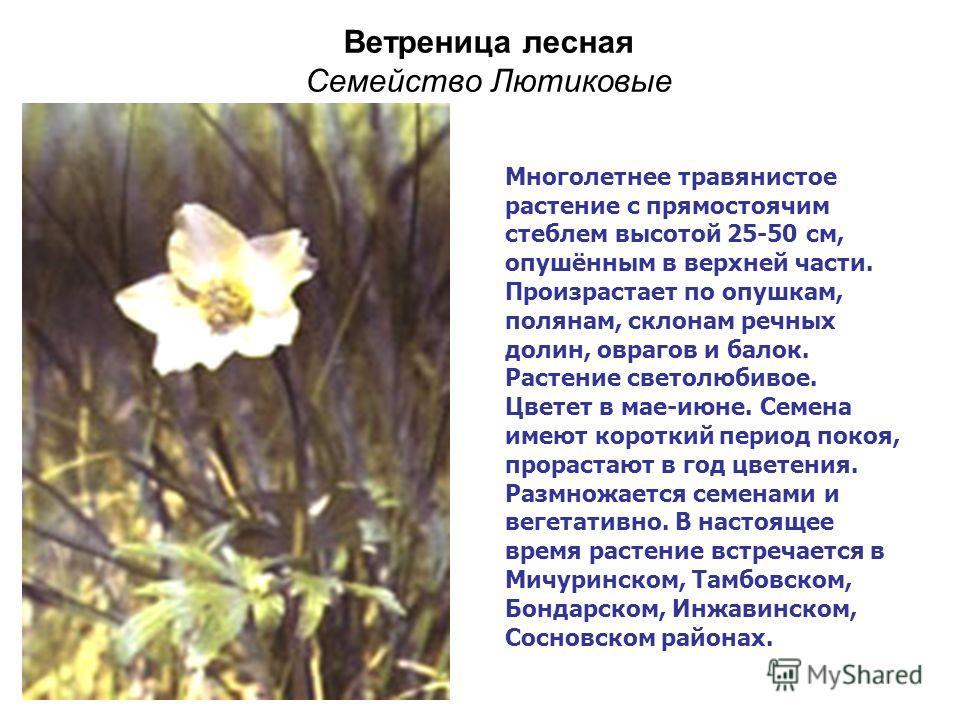 Ветреница лесная Семейство Лютиковые Многолетнее травянистое растение с прямостоячим стеблем высотой 25-50 см, опушённым в верхней части. Произрастает по опушкам, полянам, склонам речных долин, оврагов и балок. Растение светолюбивое. Цветет в мае-июн