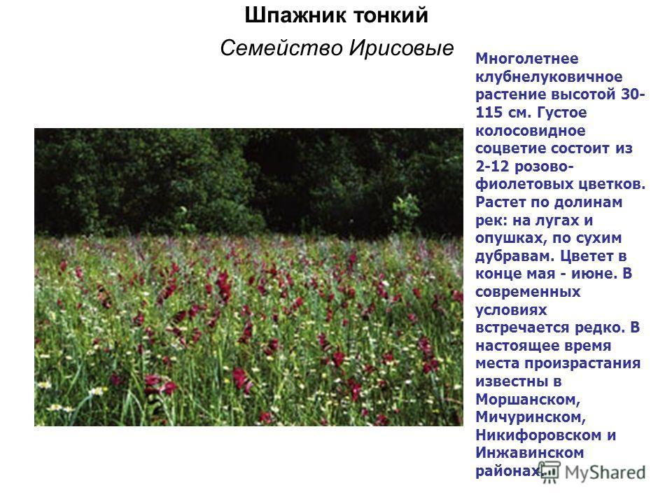 Шпажник тонкий Семейство Ирисовые Многолетнее клубнелуковичное растение высотой 30- 115 см. Густое колосовидное соцветие состоит из 2-12 розово- фиолетовых цветков. Растет по долинам рек: на лугах и опушках, по сухим дубравам. Цветет в конце мая - ию