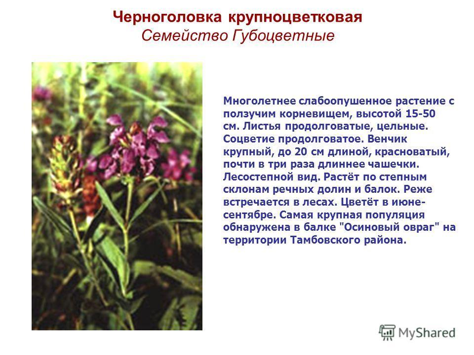 Черноголовка крупноцветковая Семейство Губоцветные Многолетнее слабоопушенное растение с ползучим корневищем, высотой 15-50 см. Листья продолговатые, цельные. Соцветие продолговатое. Венчик крупный, до 20 см длиной, красноватый, почти в три раза длин