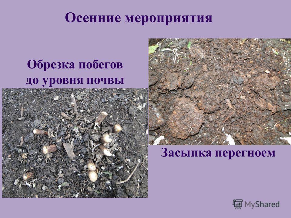Осенние мероприятия Обрезка побегов до уровня почвы Засыпка перегноем