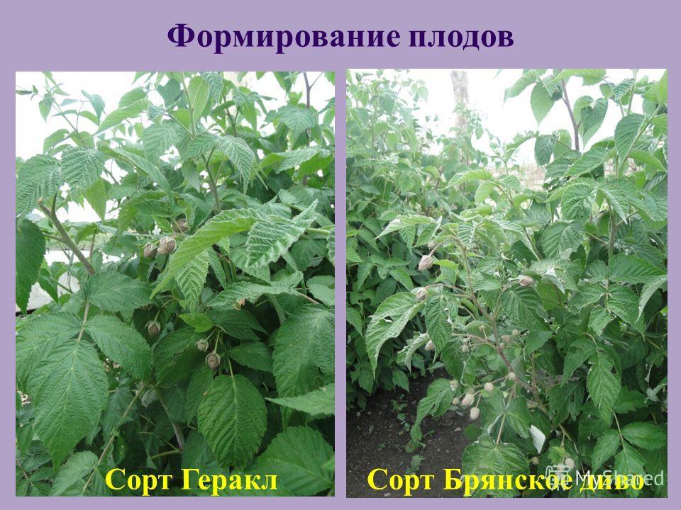 Сорт ГераклСорт Брянское диво Формирование плодов