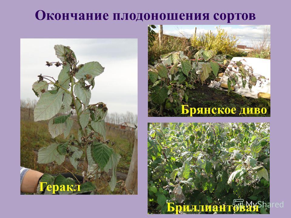 Геракл Брянское диво Бриллиантовая Окончание плодоношения сортов