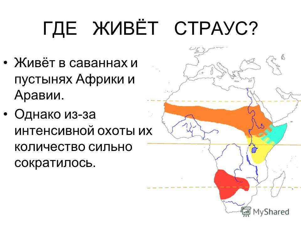 ГДЕ ЖИВЁТ СТРАУС? Живёт в саваннах и пустынях Африки и Аравии. Однако из-за интенсивной охоты их количество сильно сократилось.