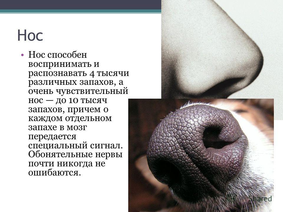Нос Нос способен воспринимать и распознавать 4 тысячи различных запахов, а очень чувствительный нос до 10 тысяч запахов, причем о каждом отдельном запахе в мозг передается специальный сигнал. Обонятельные нервы почти никогда не ошибаются.
