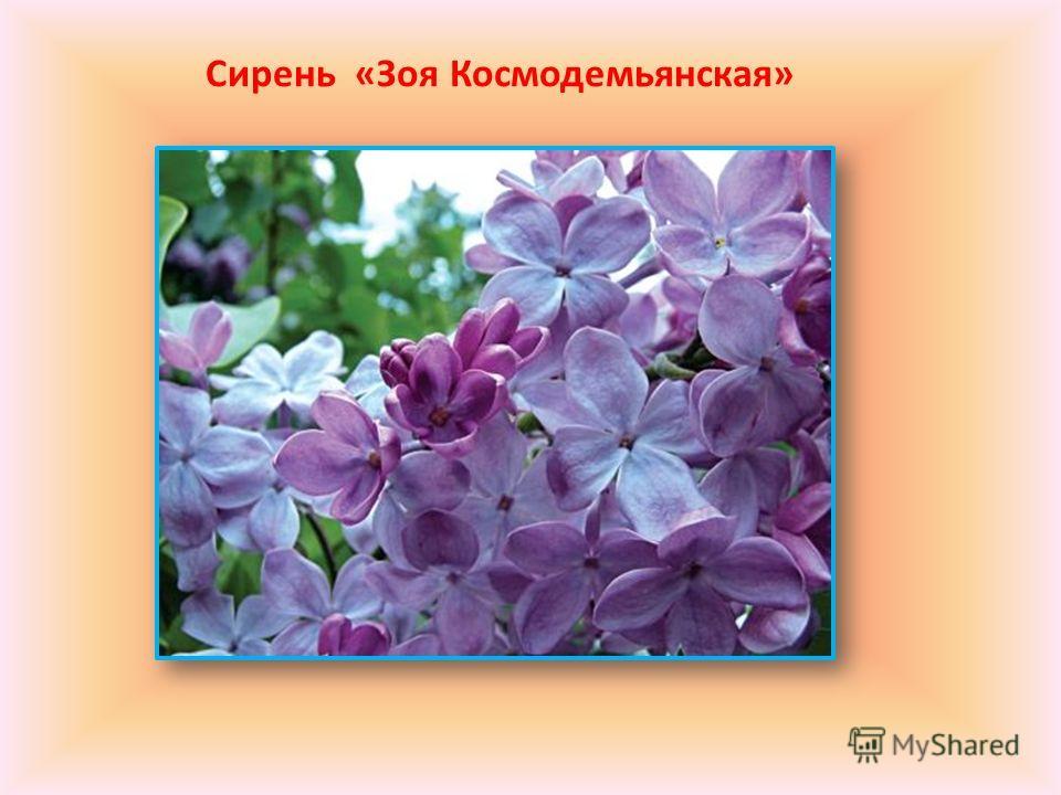Сирень «Зоя Космодемьянская»
