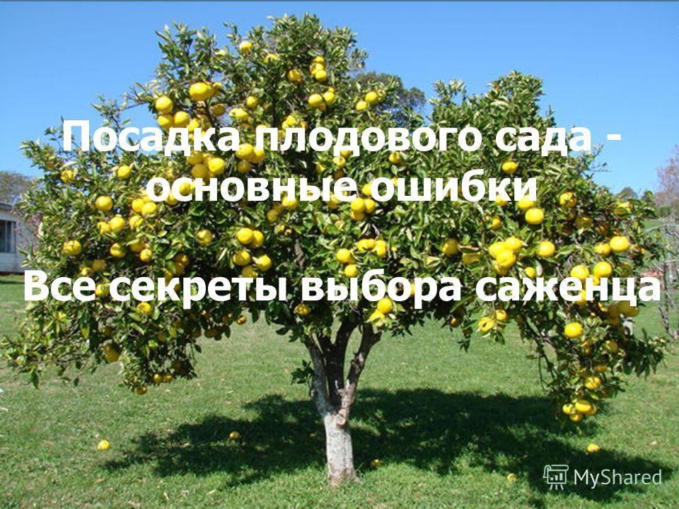 Посадка плодового сада - основные ошибки Все секреты выбора саженца