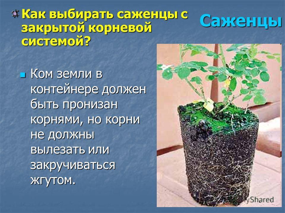 Ком земли в контейнере должен быть пронизан корнями, но корни не должны вылезать или закручиваться жгутом. Ком земли в контейнере должен быть пронизан корнями, но корни не должны вылезать или закручиваться жгутом. Как выбирать саженцы с закрытой корн