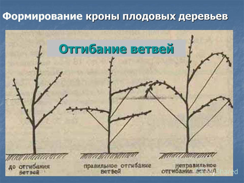 кроны плодовых деревьев Формирование кроны плодовых деревьев Отгибание ветвей