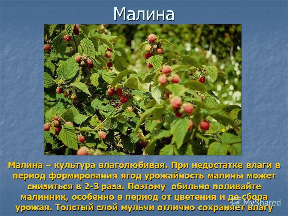 Малина Малина – культура влаголюбивая. При недостатке влаги в период формирования ягод урожайность малины может снизиться в 2-3 раза. Поэтому обильно поливайте малинник, особенно в период от цветения и до сбора урожая. Толстый слой мульчи отлично сох