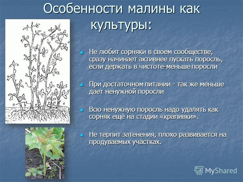 Особенности малины как культуры: Не любит сорняки в своем сообществе, сразу начинает активнее пускать поросль, если держать в чистоте-меньше поросли Не любит сорняки в своем сообществе, сразу начинает активнее пускать поросль, если держать в чистоте-