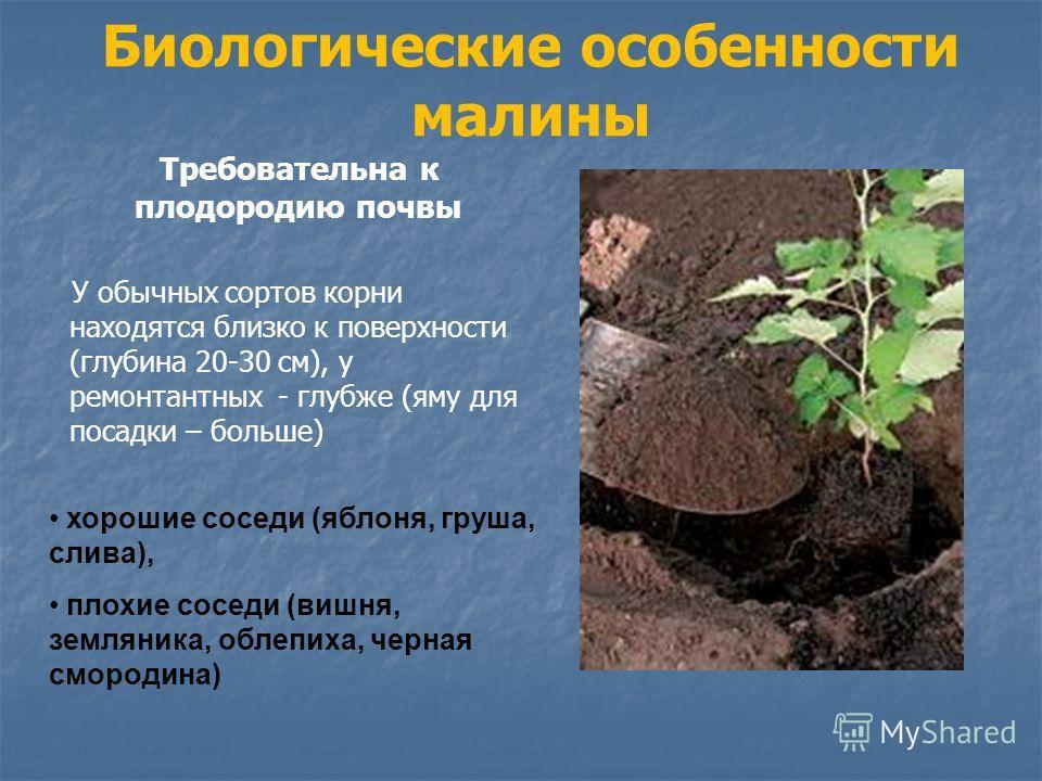 Биологические особенности малины Требовательна к плодородию почвы У обычных сортов корни находятся близко к поверхности (глубина 20-30 см), у ремонтантных - глубже (яму для посадки – больше) хорошие соседи (яблоня, груша, слива), плохие соседи (вишня