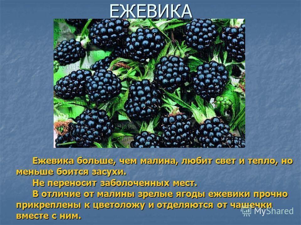 ЕЖЕВИКА Ежевика больше, чем малина, любит свет и тепло, но меньше боится засухи. Ежевика больше, чем малина, любит свет и тепло, но меньше боится засухи. Не переносит заболоченных мест. Не переносит заболоченных мест. В отличие от малины зрелые ягоды