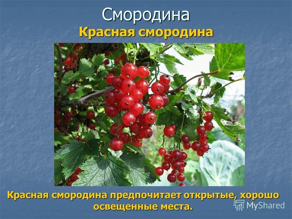 Смородина Красная смородина предпочитает открытые, хорошо освещенные места. Красная смородина