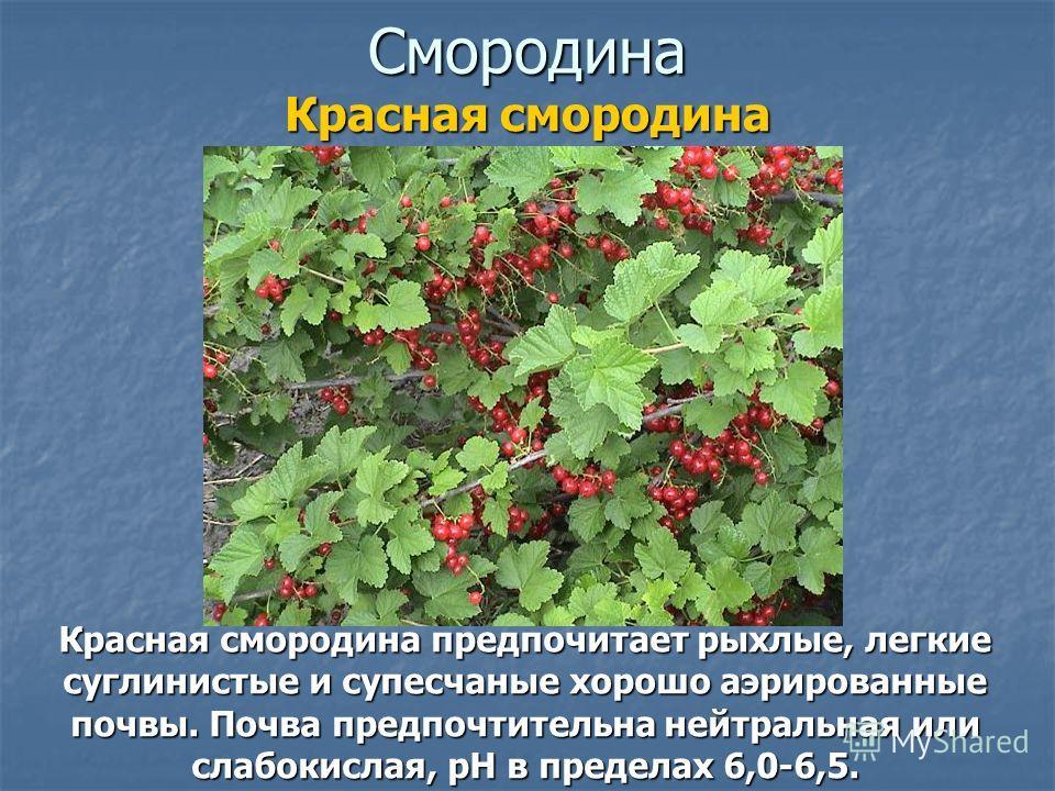 Смородина Красная смородина предпочитает рыхлые, легкие суглинистые и супесчаные хорошо аэрированные почвы. Почва предпочтительна нейтральная или слабокислая, pH в пределах 6,0-6,5. Красная смородина