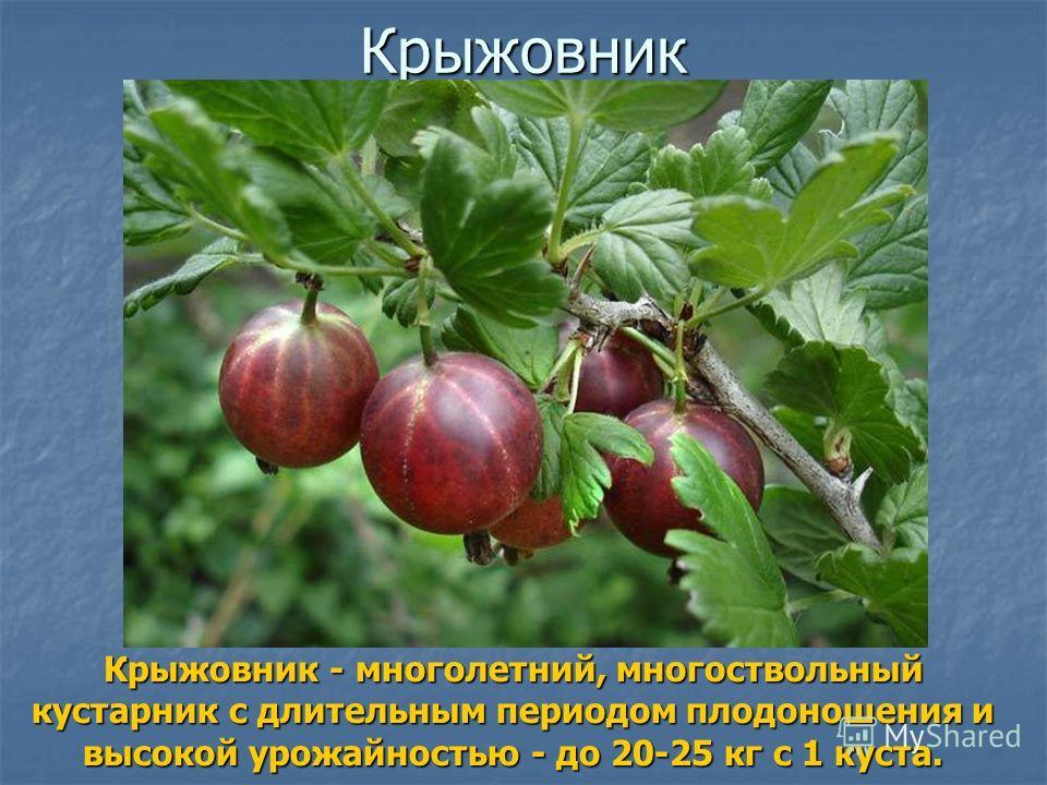 Крыжовник Крыжовник - многолетний, многоствольный кустарник с длительным периодом плодоношения и высокой урожайностью - до 20-25 кг с 1 куста.