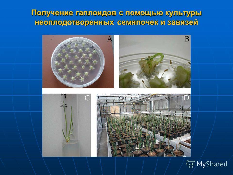 Получение гаплоидов с помощью культуры неоплодотворенных семяпочек и завязей