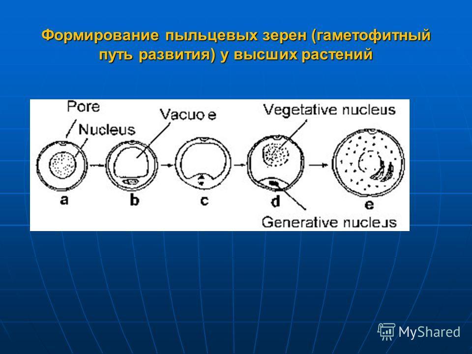 Формирование пыльцевых зерен (гаметофитный путь развития) у высших растений
