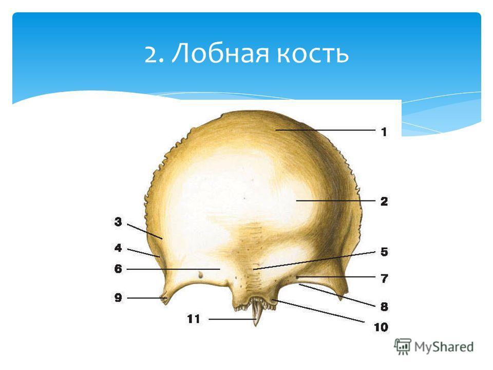 2. Лобная кость