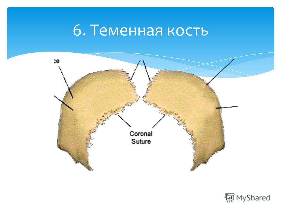6. Теменная кость