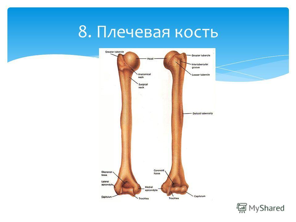 8. Плечевая кость