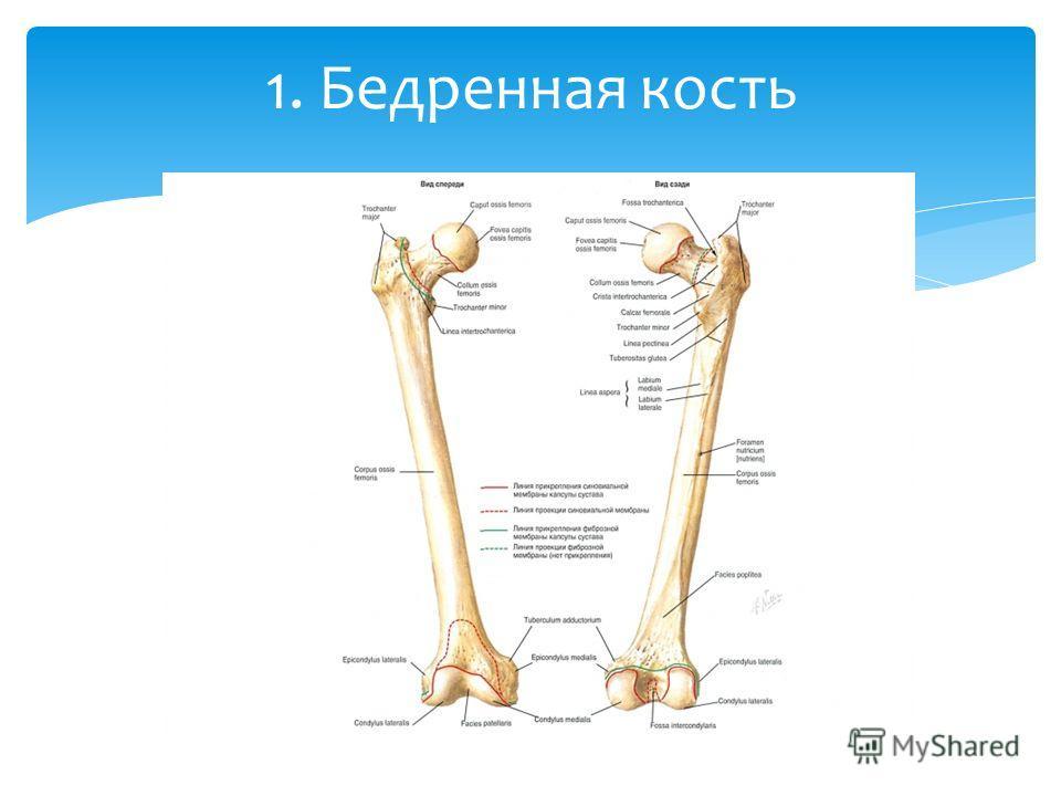 1. Бедренная кость