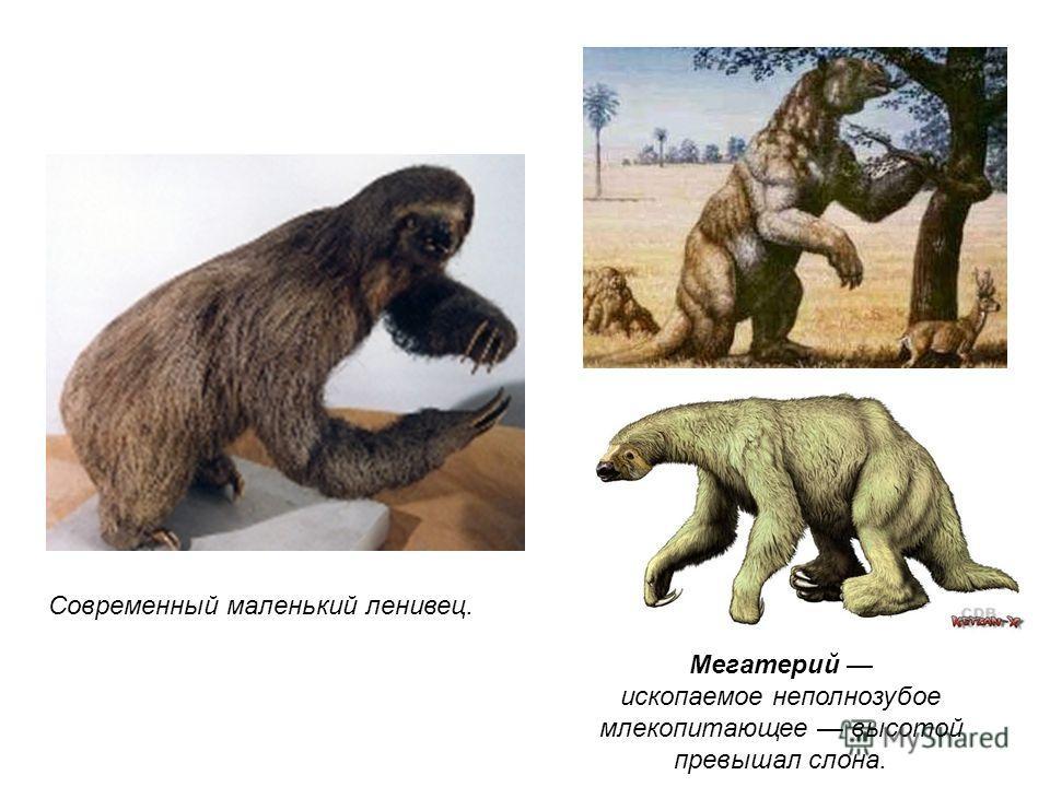 Мегатерий ископаемое неполнозубое млекопитающее высотой превышал слона. Современный маленький ленивец.
