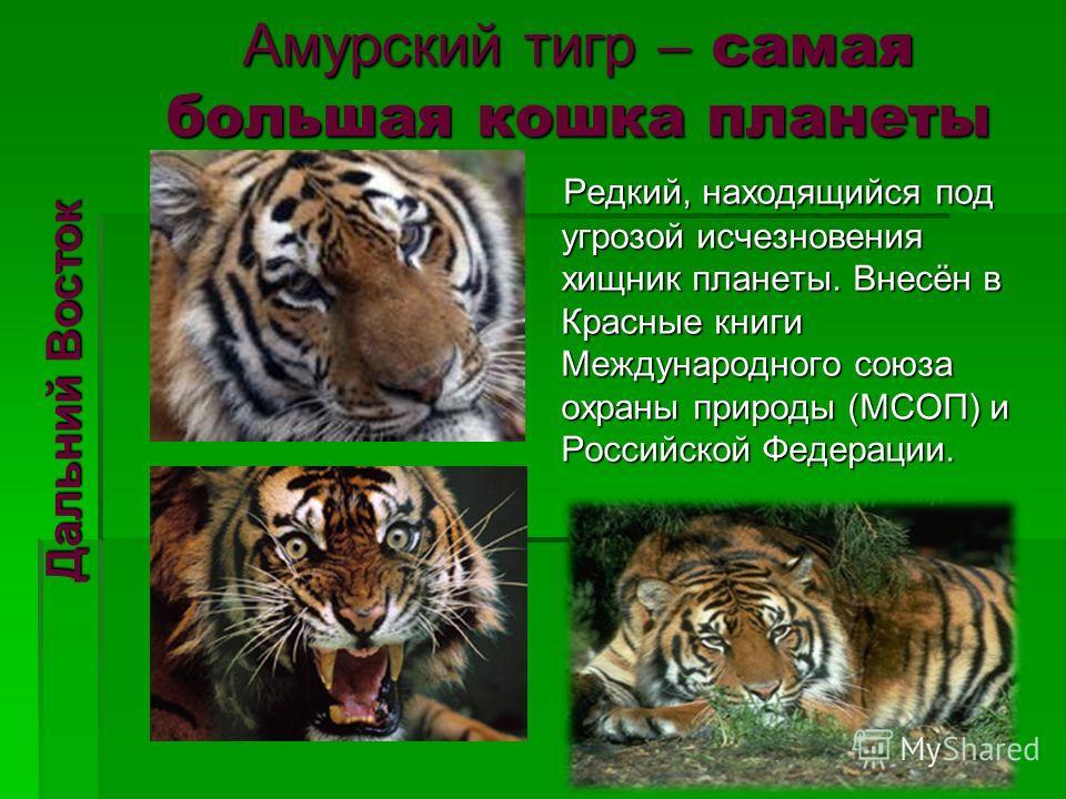 Амурский тигр – самая большая кошка планеты Редкий, находящийся под угрозой исчезновения хищник планеты. Внесён в Красные книги Международного союза охраны природы (МСОП) и Российской Федерации. Редкий, находящийся под угрозой исчезновения хищник пла