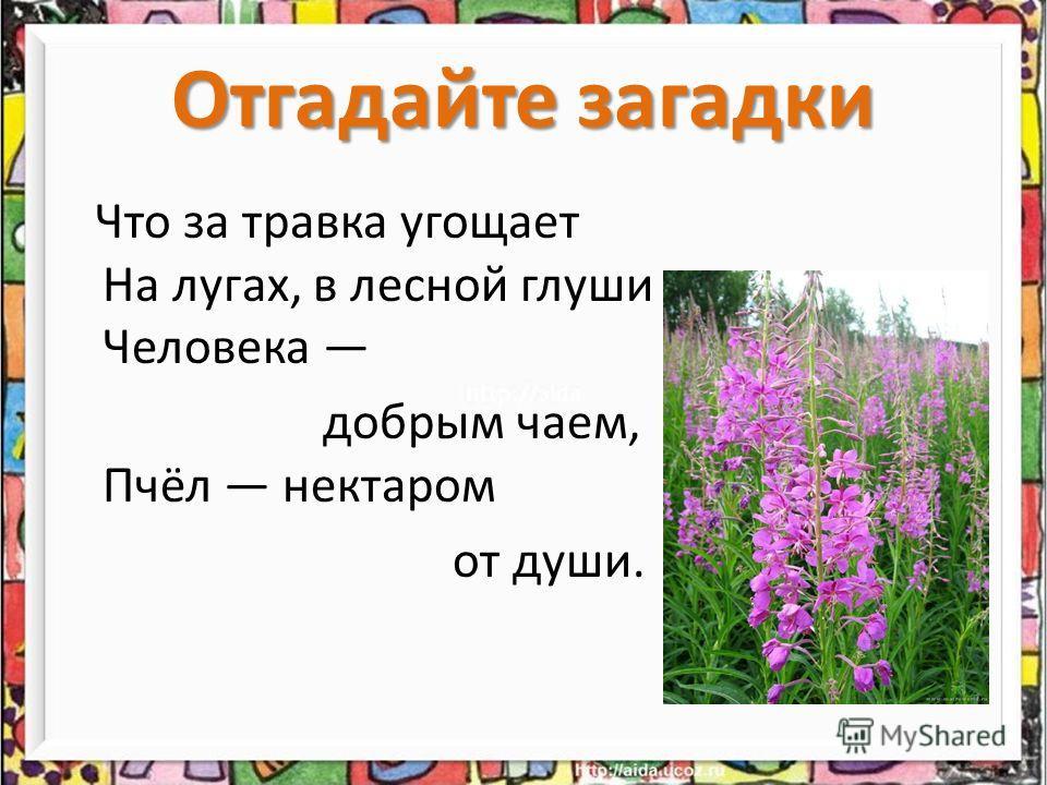 Что за травка угощает На лугах, в лесной глуши Человека добрым чаем, Пчёл нектаром от души. Отгадайте загадки