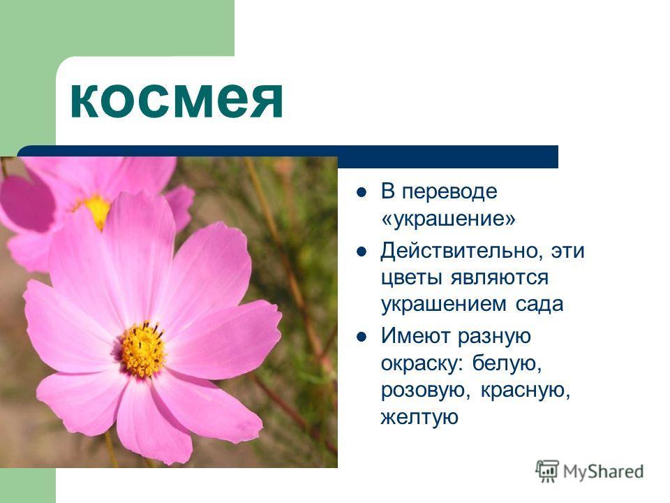 космея В переводе «украшение» Действительно, эти цветы являются украшением сада Имеют разную окраску: белую, розовую, красную, желтую