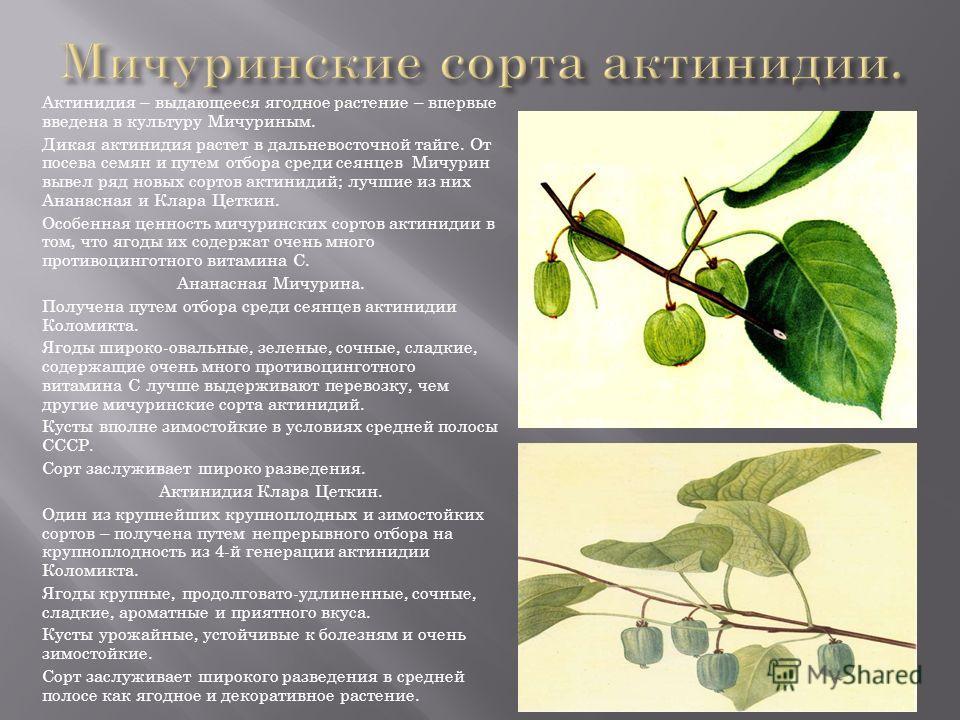 Актинидия – выдающееся ягодное растение – впервые введена в культуру Мичуриным. Дикая актинидия растет в дальневосточной тайге. От посева семян и путем отбора среди сеянцев Мичурин вывел ряд новых сортов актинидий; лучшие из них Ананасная и Клара Цет