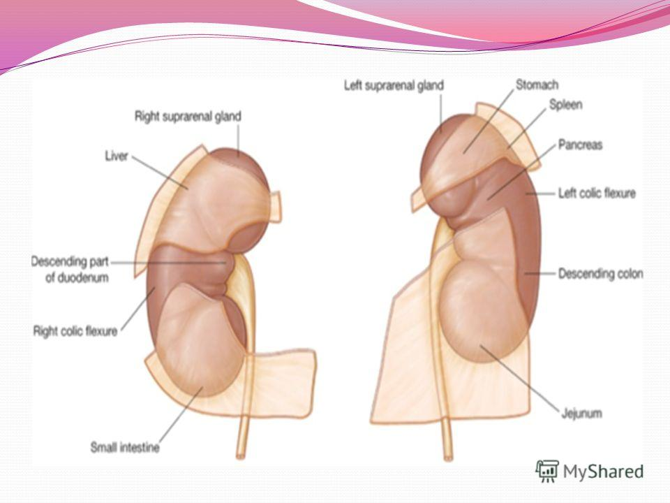 Topographic Anatomy Of The Kidneys Approaches