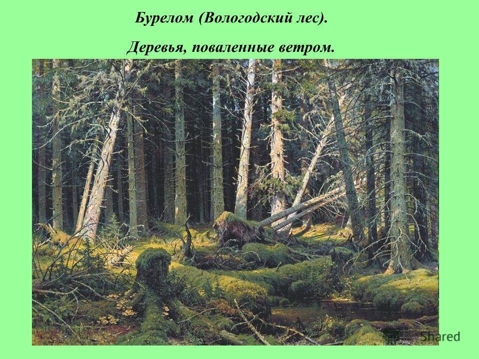 Бурелом (Вологодский лес). Деревья, поваленные ветром.