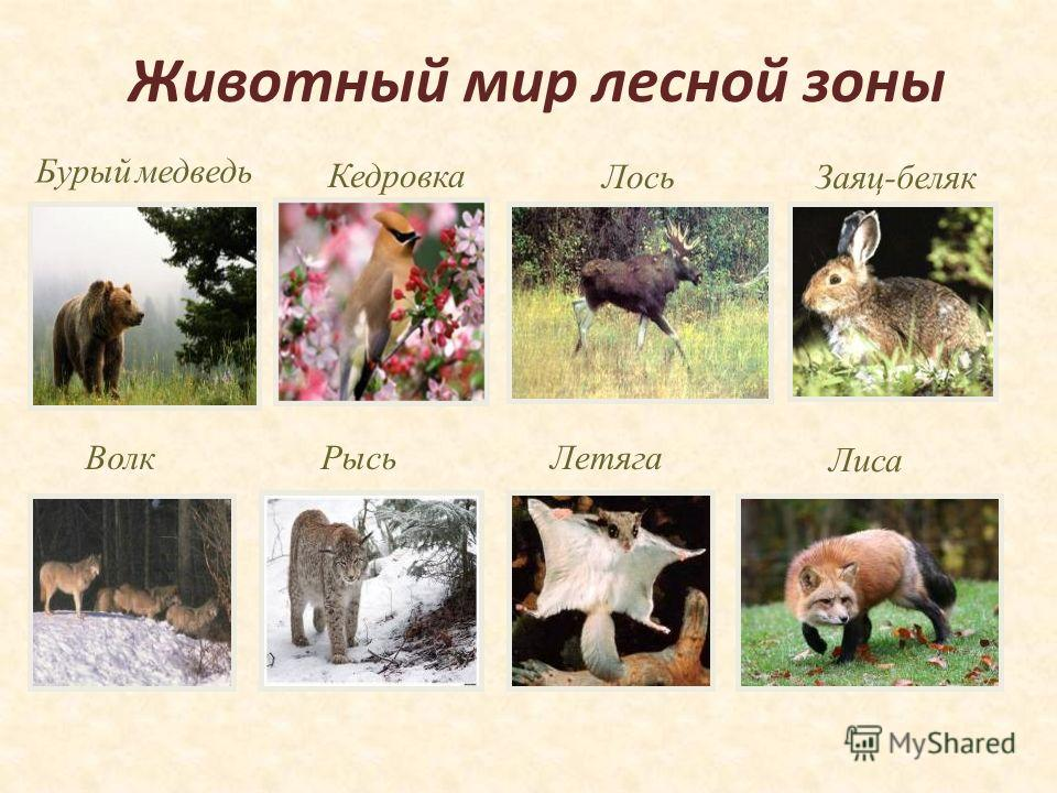 Животный мир лесной зоны Бурый медведь Заяц-беляк Лось Волк Лиса ЛетягаРысь Кедровка